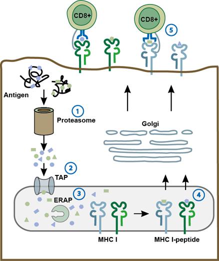 Clinical implications of Epstein-Barr virus strain diversity